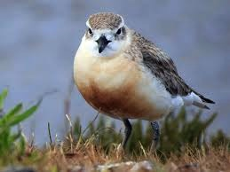 The New Zealand Dotterel could lose it's nesting grounds to sea level rise in the future